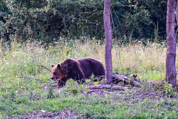 Roman zo Šútova útok medveďa prežil, no ztejto nepríjemnej skúsenosti sa zrejme bude dlho spamätávať.