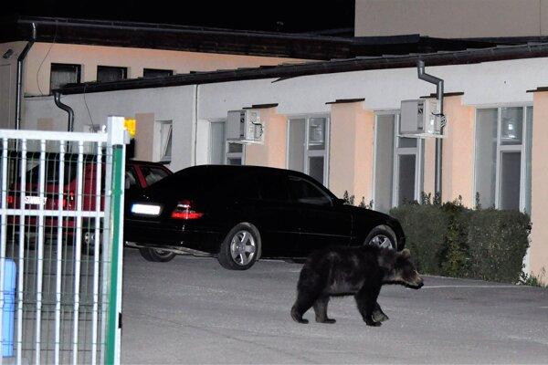 Mladá medvedica sa nebojácne potulovala po dedine.