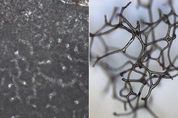 Rúrky, ktoré Turnerová objavila na skalách (vľavo) mohli vzniknúť, keď sa pri skale rozložila hubka pred 890-miliónmi rokov. Štruktúry sa ponášajú na moderné hubky (vpravo).