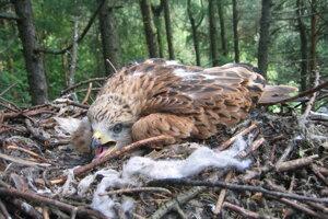 Mláďa haje červenej v hniezde s odpadkami.