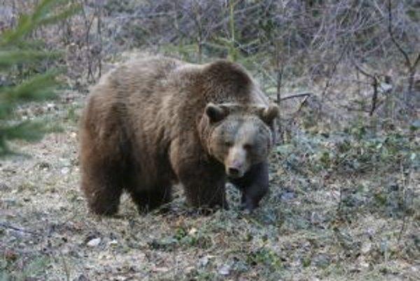 Medvede sa do lesov Tribeča presúvajú z Vtáčnika.
