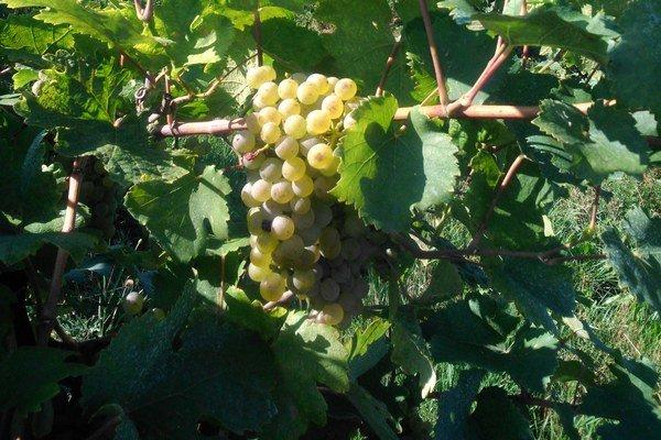 Vinohrady budú lákať návštevníkov už v sobotu.