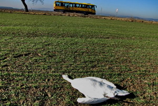 Labute zabilo elektrické vedenie.