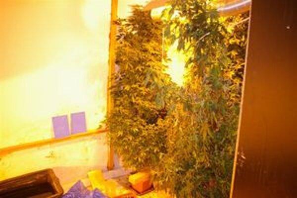Tri veľké rastliny boli v štádiu zrelosti.