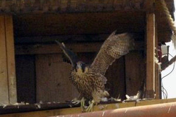 Medzi otrávenými vtákmi je aj sokol.