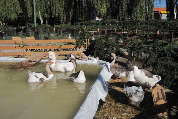 Na výstave plávalo vodné vtáctvo v improvizovanej vodnej nádrži.