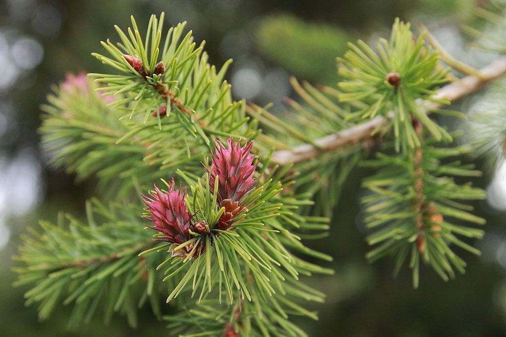 Dúglaska (Pseudotsuga menziesii) - má príjemnú citrónovú vôňu a najlepšia je priamo zo stromu čerstvá. Má výborné  a chutné ihličie, síce nejde o náš domáci druh, ale ľudia ju radi sadili v lesoch, parkoch a pri domoch.