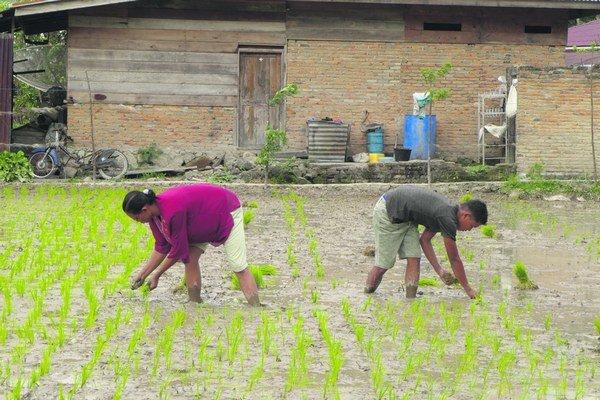 Sú oblasti, kde ryžu pestujú a jedia takmer všetci.