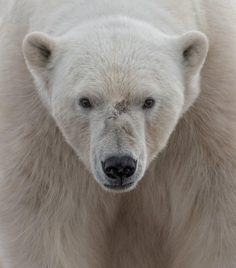Z tváre do tváre. Ľadový medveď nás zacítil v jednom z fjordov na ostrove Nordaustlandet, druhom najväčšom na nórskych Špicbergoch. Po chvíli však o nás stratil záujem a aj my sme mu dali pokoj.