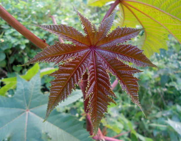 Ricín obyčajný - Ricinus communis