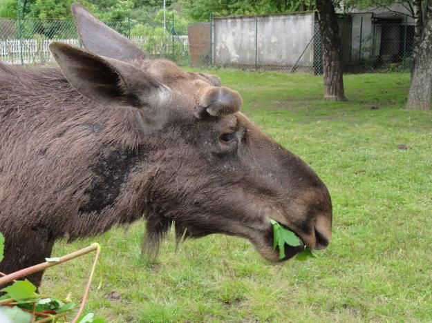 Samec Nik z Výskumného ústavu živočíšnej výroby. Jeho potomkovia pôjdu do slovenských lesov.