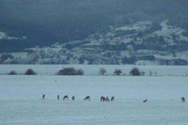 Na poli medzi Novou Dedinou a Podlužanmi vídať pasúce sa srnky celú zimu.