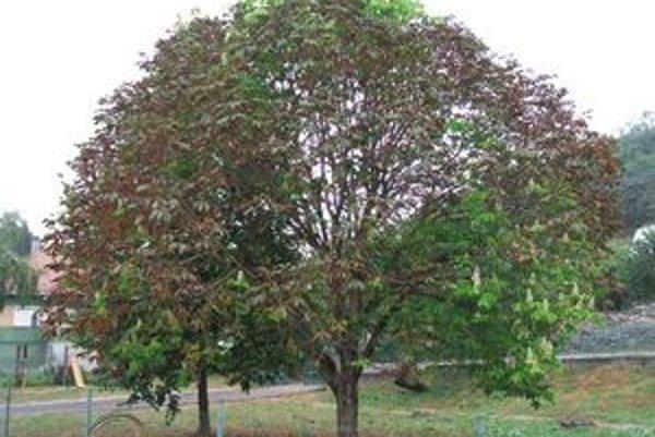 Pagaštan konský zareagoval na teplé počasie. Strom, ktorý sa chystal na zimu, vplyvom vysokých teplôt ožil.