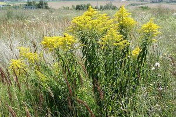 Zlatobyľ rastie na opustených poliach a rúbaniskách v celej oblasti južne od rieky Myjavy. Ide o inváznu rastlinu, ktorá vytláča pôvodné druhy.