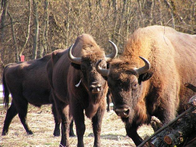 NP Poloniny je známy tým, že je to jediné územie na Slovensku, kde vo voľnej prírode žije zubor hrivnatý.