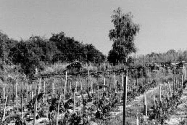 Ideálny pomer zaburinenia a obrábanej pôdy v mladej vinici.