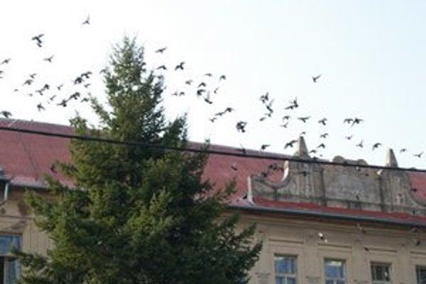 Holuby nad novozámockýcm gymnáziom.
