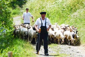 Redikaňä oviec na salaš.