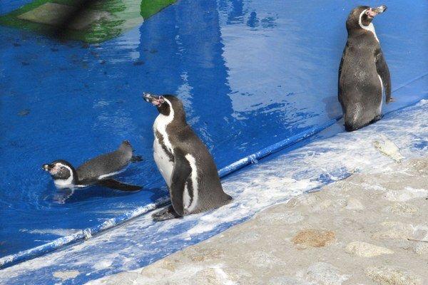 Tučniaky v akcii. Tieto milé zvieratká pútali v zoo vždy veľkú pozornosť návštevníkov.