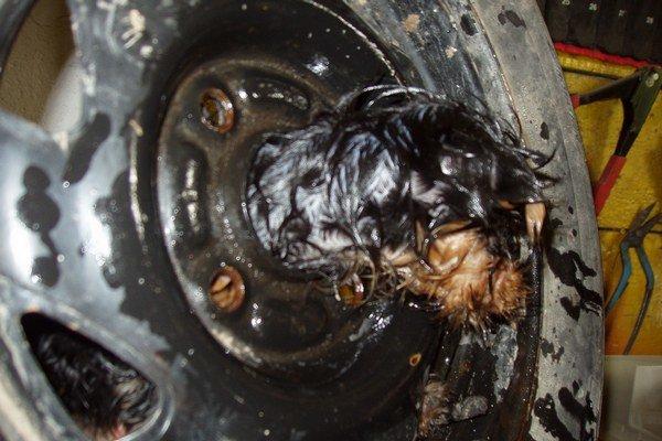 Vystrašený psík. Nik netuší, ako mohol hlavu do disku strčiť.