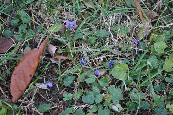 Fialky. V Košiciach kvitnú aj teraz, v decembri.