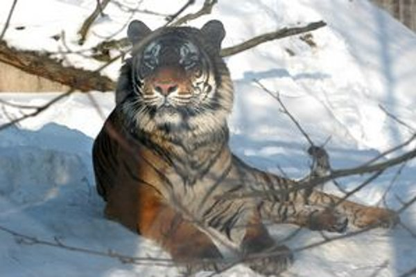 """Krajšie prostredie. Výbeh """"vymaľovali"""" aj tigrovi Luckymu. Pruhy sú jeho pôvodné."""