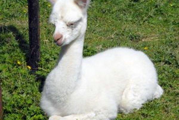 Bielučká, hebká a vznešená je lama alpaka.