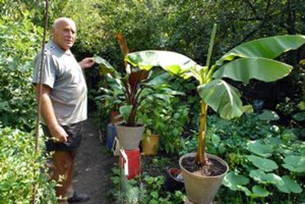 Trópy v Čermeli. Pestovateľ Ladislav Juhás je  svojím figovníkom nadšený. Bude zberať už druhú úrodu.