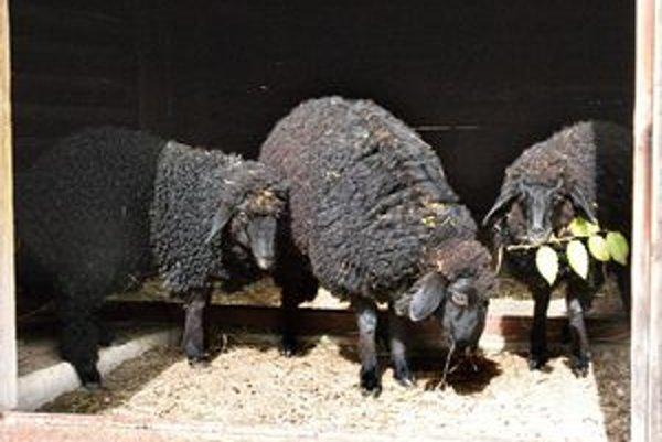 Čierne perly. Tri dámy v perzskom kožuchu - ovečky karakulské si zvykajú na nový domov. Do Košíc prišli z Miskolca.