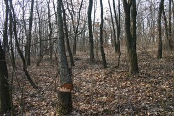 Jeden spílený strom odolal. Zostal zakliesnený v náručí duba, zlodeji zrejme nemali dosť síl na jeho vyslobodenie.