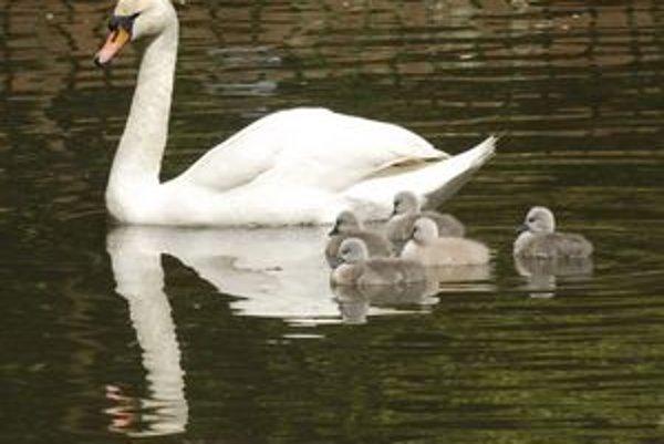 Labutie jazero. Biele labute obývajú celý rybník a ukazujú svetu svojich piatich potomkov. Nikto iný do vody nesmie.