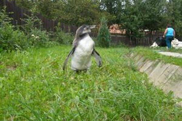 Veľký fešák. Tučniačik má za sebou už tri mesiace života a má sa k svetu.