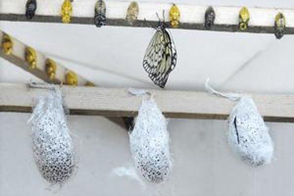 Motýlia šou. Zo striebristých kukiel vyletia nádherné madagaskarské kométy.