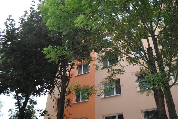 Nebezpečné stromy pri bytovkách. Za roky vyrástli na ozruty, svojvoľne ich zrezať nemožno.