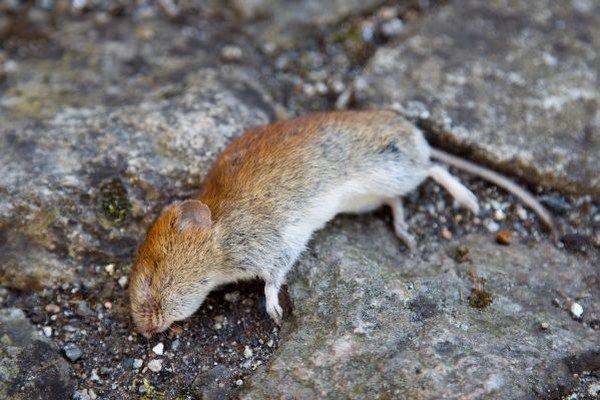 Potkany sa akosi rozmohli.