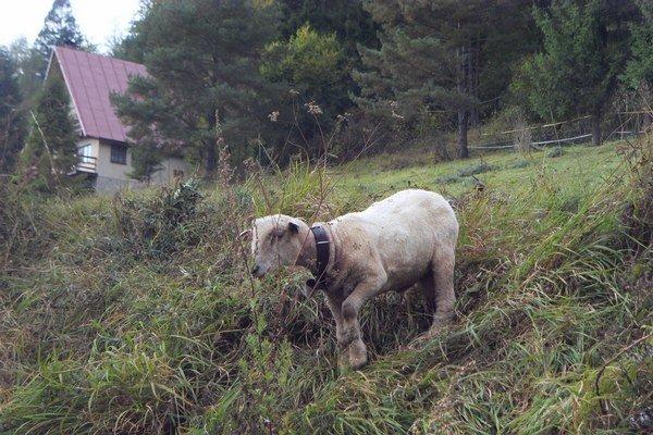 Ovce. Pastier ich pred vlkmi niekedy neustráži.