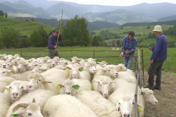 Salaš. Nadojené ovčie mlieko sa bude laboratórne testovať.