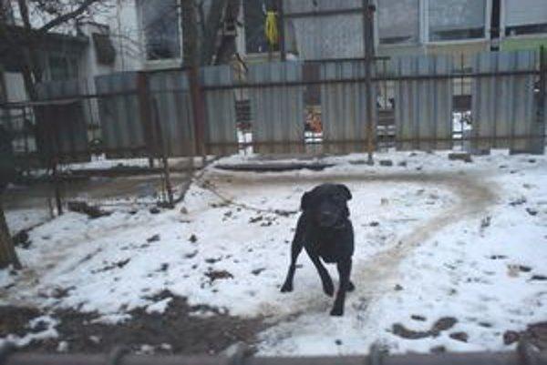 Čierny labrador. Tu pobýval i v najtuhších mrazoch.