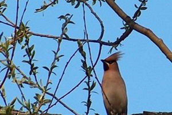 Kŕdeľ exotických vtáčikov prekvapil obyvateľov Sídliska III.