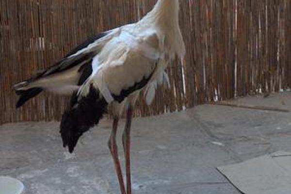 Bocian. Tento zvierací pacient s poraneným krídlom je v opatere profesionálnych ochrancov prírody.