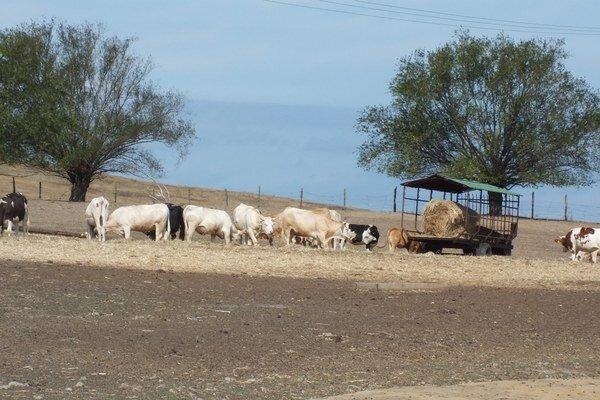 Chovatelia kráv sa tohto roku borili nielen s mliečnou krízou. Pastviny boli doslova vypálené slnkom.