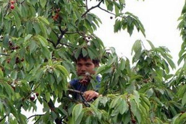 Čerešňový raj. Do Brdárky prichádzajú na výpomoc aj dobrovoľníci. Pri čerešniach je stále dosť práce.