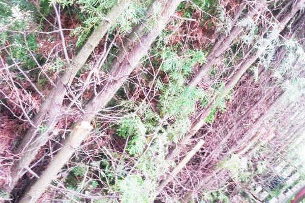 Zrezané stromy. Podľa pani Balážovej vznikla škoda 3-tisíc eur.