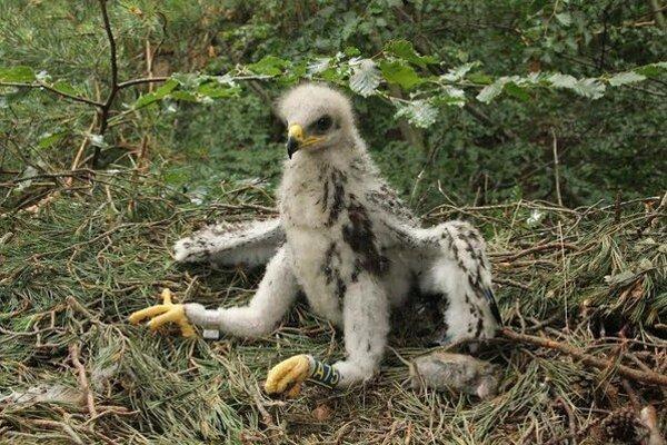 Mláďa orla krikľavého sa vyliahlo pri Medzilaborciach.