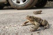 Pri Brestove v okrese Humenné je nebezpečným úsekom pre žaby cesta medzi lesom, kde obojživelníky prezimovali.
