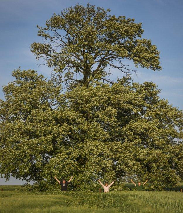 Dub cerový zasiahol v nedávnej minulosti blesk, poškodil korunu.