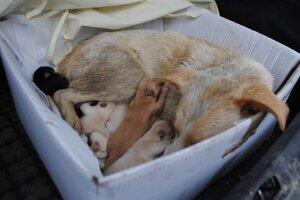 Mali šťastie. Päť čerstvo narodených šteniatok našli v kríkoch pri ceste na Lastomírskej ulici v Michalovciach. Nový domov nájdu v Rakúsku.