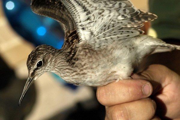 Ornitológovia sa pustili aj do krúžkovania vtáctva. Krúžkovaním sa dokážu zistiť migračné trasy, ale aj hniezdne úspešnosti.