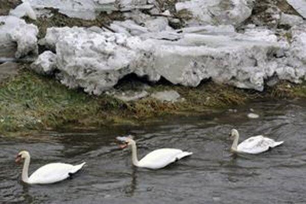 Zima ohrozuje aj labute v zamrznutých jazerách.