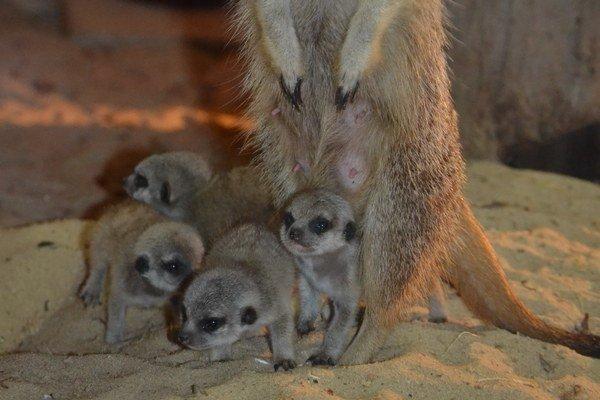 Malé surikatky. Najnovší prírastok v pavilóne zoo – AquaTerra.